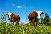 image of cow  - Cow farm animal in the french alps Abondance race cow savy beaufort sur Doron - JPG