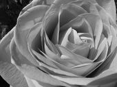 stock photo of rose close up  - A close up of a blooming rose flower in black and white - JPG
