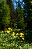 pic of cowslip  - yellow flowers italmas on a green meadow - JPG