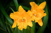 stock photo of yellow orchid  - Yellow Cattleya hybrid orchid flower - JPG
