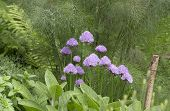 foto of chive  - Chives with a background of bronze fennel - JPG