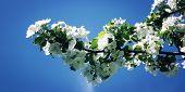 stock photo of apple tree  - Flowers Of apple tree on a nature background - JPG