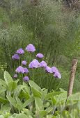 image of chive  - Flowers of chives with a bronze fennel as background - JPG