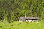 stock photo of cow  - Landscape with cows near Spitzingsee with cows in the Alps in Bavaria Germany - JPG