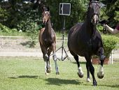 pic of foal  - a small brown Warmblood foal with broodmare at a sales event - JPG
