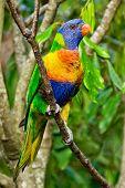 picture of lorikeets  - a Rainbow Lorikeet on the tree in the bush - JPG