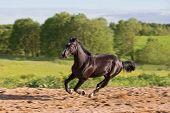 foto of galloping horse  - Brown horse runs gallop at summer day motion blur - JPG