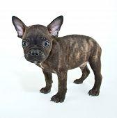 stock photo of french bulldog puppy  - Tiny little French Bulldog puppy standing on a white background - JPG