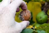 picture of walnut-tree  - photographed by a close up a walnut tree in an autumn season - JPG