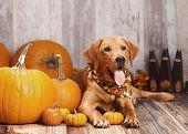 picture of seeing eye dog  - Beautiful Golden Labrador Retriever next to pumpkins - JPG