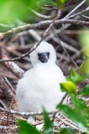 picture of boobies  - Fluffy white red footed booby chick on Genovesa Island in the Galapagos Islands in Ecuador - JPG