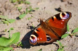 foto of species  - daily butterfly from the family of Nymphalids  - JPG