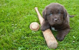 pic of newfoundland puppy  - Very cute Newfoundland puppy laying in the grass outdoors with a baseball bat and ball with copy space - JPG