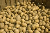 picture of tuberose  - A large bin of potatoes after the harvest - JPG