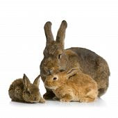 stock photo of bunny rabbit  - Mother Rabbit with her new born bunny in front of a white background - JPG