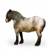 pic of workhorses  - Carthorse in front of a white background - JPG