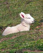 Cute Lamb poster