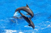 picture of bottlenose dolphin  - Two dolphins jumping in the Caribbean sea - JPG