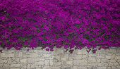 Bougainvillea Flowers Close Up.blooming Bougainvillea.bougainvillea Flowers As A Background.floral B poster