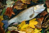 stock photo of chub  - Picture of a trophy fish - JPG