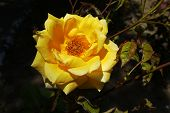 Yellow Rose, Yellow Rose In The Garden. Close-up Yellow Rose, Love And Yellow Rose poster
