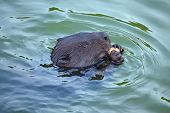 Eurasian Beaver( Castor Fiber) Rodent, Eating And Looking In The Camera. poster