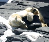 stock photo of hughes  - polar bear hugging a rubber boot on his side with his cute little paws showing - JPG