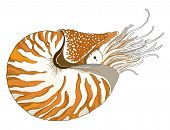 Vector Drawing Of Nautilus Pompilius Or Chambered Nautilus In Ornate Striped Shell Isolated On White poster