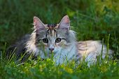 A Sweet Norwegian Forest Cat Kitten Lying In Grass On A Sunny Summer Day poster