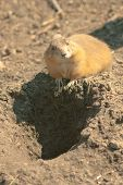 pic of gopher  - Gopher - JPG