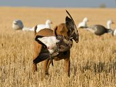 stock photo of snow goose  - A hunting dog retrieving a Canada goose - JPG