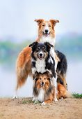 foto of sheltie  - composition of the three dogs border collie and sheltie in summer - JPG