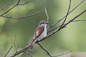 Red-backed Shrike Female Sitting On Bush. Cute Little Raptor Songbird. Back View With Green Blurred  poster