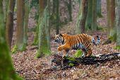 The Siberian Tiger (panthera Tigris Tigris) Also Called Amur Tiger (panthera Tigris Altaica) In The  poster
