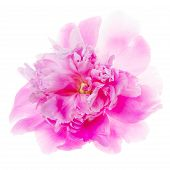 Backlight Shot Of A Magenta Rose. Petals Blur With The White Background. Single Flower Isolated On W poster