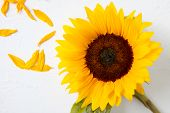 Yellow Sunflower On A White Background. Yellow Sunflower Bouquet, Autumn Concept, Top View, Space Fo poster