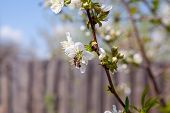 Honeybee On White Flower Of Cherry Tree Collecting Pollen And Nectar To Make Sweet Honey With Medici poster