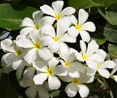 stock photo of champa  - White Frangipani Is A  Beautiful White Flower With Yellow Center - JPG