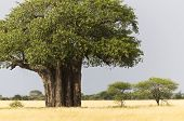 foto of angiosperms  - African Baobab tree with yellow grass Tarangire National Park Tanzania East Africa - JPG