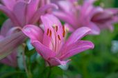 Bright Pink Lily Flowers On A Blurred Green Background. Close Up View Of Garden Beautiful Lilies Wit poster