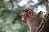 Baby Monkey Sits In Tree Looking Out Over Jungle, Monkeys Of South India, Cute Monkey Sits In Tree poster