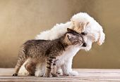 stock photo of bichon frise dog  - Friends  - JPG