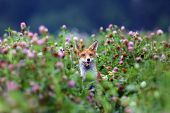 The Red Fox (vulpes Vulpes) Pokes His Head Out Of The Purple Clover Flowers. Portrait Of A Fox Peepi poster