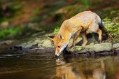 The Red Fox (vulpes Vulpes) Drinks Water From A Forest Creek.young Red Fox Near Water In Dense Fores poster