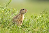 European Ground Squirrel (spermophilus Citellus) Is A European Representative Of The Genus Ground Sq poster