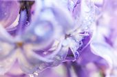 Beautiful Smell Violet Purple Lilac Blossom Flowers In Spring Time. Close Up Macro Twigs Of Lilac Wi poster