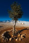foto of samaria  - Olive on the Slopes of the Mountains of Samaria Israel Sunset - JPG