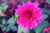 Dahlia Flower Pink Dahlia Flower. Light Pink Flower. Dahlias In Several Colors With Bees, Which Are  poster