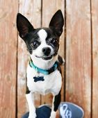 stock photo of applehead  - a cute chihuahua begging to be picked up and held - JPG