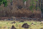 Female Tiger On Scent Marking Or Patrolling Her Territory In Kanha Maidan Or Grass Field. Landscape  poster
